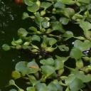 Floating Water Plants - Water Hyacinth (Lilac Devil)