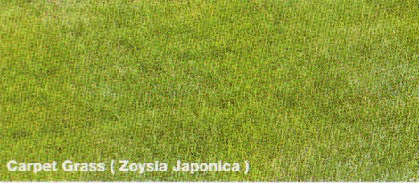 Carpet Grass (Zoysia Japonica)