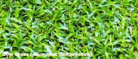 Cow Grass (Axonopus Compressus)