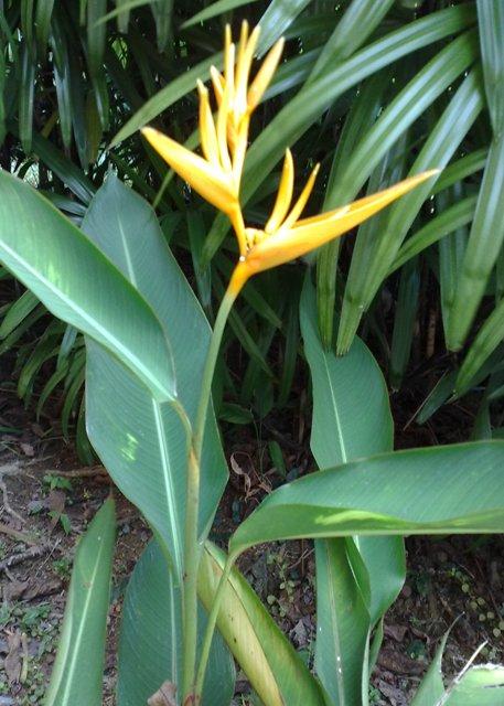 Heliconia Yellow
