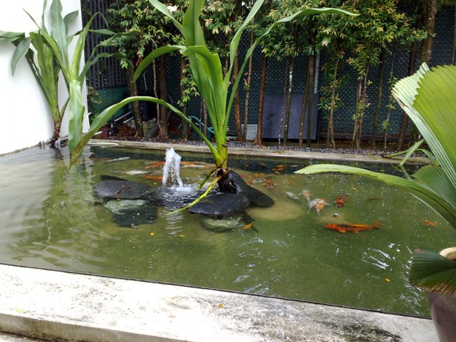 Koi Pond with Water Plant