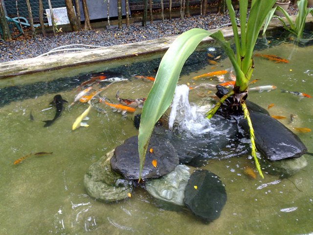 Skyland gardening koi pond maintenance for Pond cleaning fish