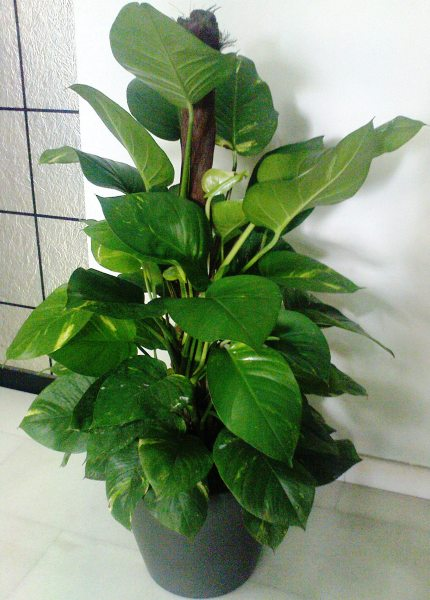 Money Tree 4ft in Fibre Pot (F5001)