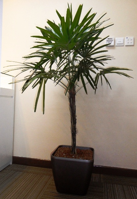 Rhapis Palm Fibre Square Pot 3-4ft