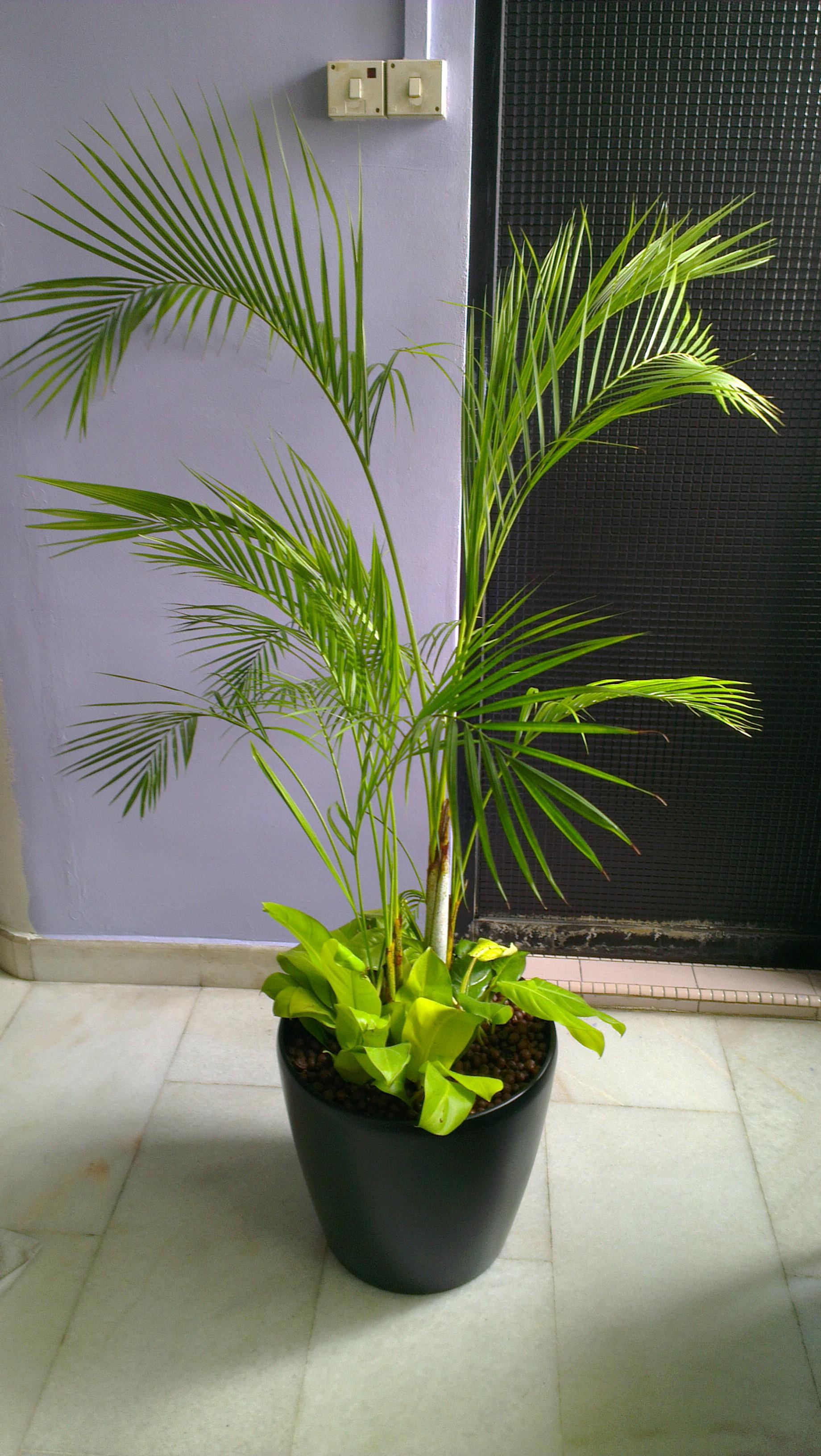 Yellow Palm 3-4ft in Fibre Pot