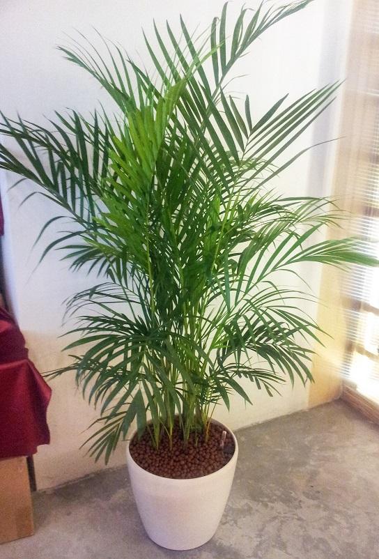 Yellow Palm 3-4ft in White Fibre Pot